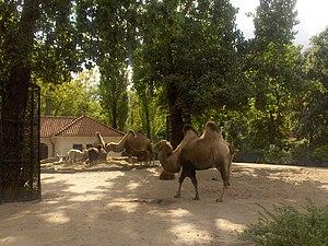 Natura Artis Magistra - Image: Artis camel Photo by Persian Dutch Network