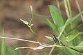 Artona discivitta-Kadavoor-2016-03-22-001.jpg