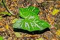 Arum italicum in Aveyron.jpg
