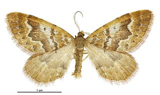 <i>Asaphodes exoriens</i> species of moth endemic to New Zealand
