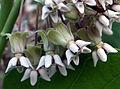 Asclepia syriaca3.jpg