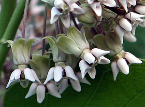 Plant morphology - Asclepias syriaca showing complex morphology of the flowers.