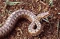 Asp Viper (Vipera aspis zinnikeri) female (36248649611).jpg