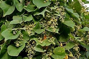 Malpighiales - Aspidopterys cordata (Malpighiaceae)