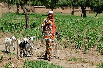 Goats are important livestock for smallholder farmers in many countries, such as this woman from Burkina Faso. Asseta Lompo with her goats.jpg