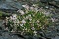 Astragalus distortus var. engelmannii.jpg