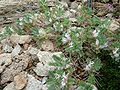 Astragalus sempervirens 646.JPG