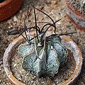 Astrophytum capricorne 2020-07-18 02.jpg