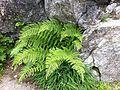 Athyrium distentifolium Grimsel.JPG