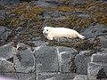 Atlantic Grey Seal pup - geograph.org.uk - 2586428.jpg