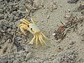 Atlantic ghost crab, Cuba - Laslovarga.JPG
