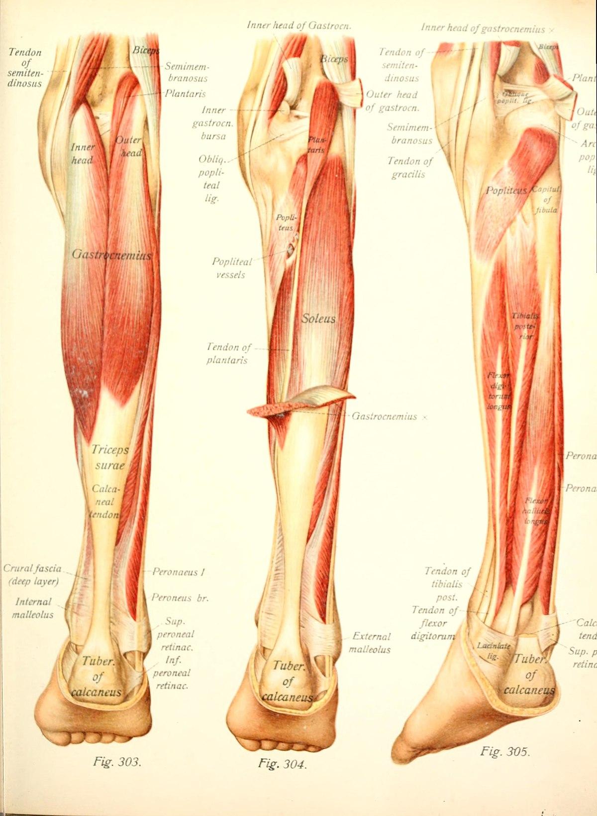 tendon de biceps crural