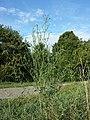 Atriplex oblongifolia sl1.jpg