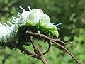Attacus atlas - Atlas moth caterpillar at Mayyil (7).jpg