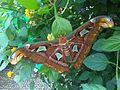 Attacus atlas - NHM 5.jpg