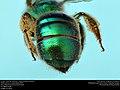 Augochloropsis metallica (36995898730).jpg