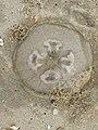 Aurelia aurita 139000327.jpg