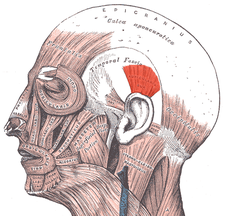 musculus auricularis superior