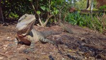 File:Australian Water Dragon - Head Bobbing - edited.webm