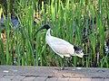 Australian White Ibis (32261795842).jpg