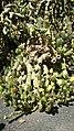 Austrocylindropuntia cylindrica (Fuerteventura).jpg