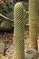 Austrocylindropuntia pachypus (40388450280).jpg