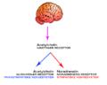 Autonome nervesystem.png