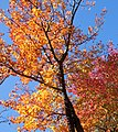 Autum Tree (6235089038).jpg