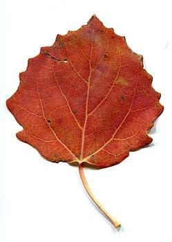 Autumn - leaves aspen.jpg