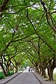 Avenue of Trees (6343575879).jpg