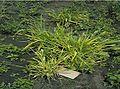 BDDV symptoms in wheat.jpg