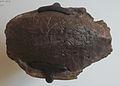 Baena arenosa AMNH 1112.jpg