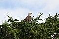 Bald Eagle in a tree (5946360348).jpg