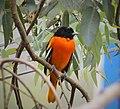 Baltimore Oriole. Icterus galbula - Flickr - gailhampshire (2).jpg
