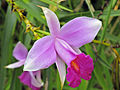 Bamboo Orchid.jpg