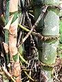 Bambus blumean 170107-0114 jtg.JPG