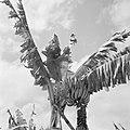 Bananenboom, Bestanddeelnr 252-2612.jpg