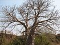 Baobab-vasai-fort.JPG