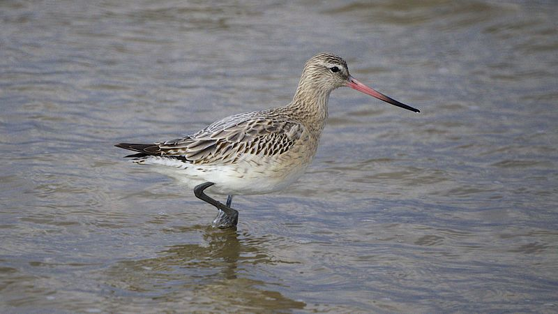 File:Bar-Tailed Godwit (8446871159).jpg