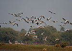 Bar-headed Geese- Bharatpur I IMG 8337.jpg