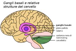 Basal Ganglia and Related Structures-IT.png
