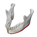 Base of mandible - close up - anterolateral view01.png