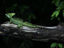 Kroonbasilisk (Basiliscus plumifrons) in zijn natuurlijke omgeving, het regenwoud van Costa Rica.