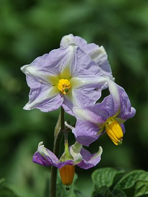 English: Potato Plant flower