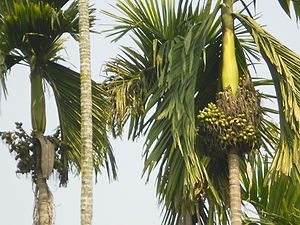 Chokapara - Some areca palm with nuts in Chokapara
