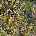 Bay Willow (Salix pentandra) - Oslo, Norway 2020-09-05 (01).jpg