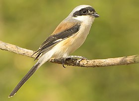 Bay backed Shrike SM.jpg