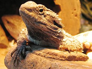 Bearded Dragon found in Central Queensland, Au...