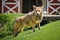 Beautiful Coyote - 8716293591.jpg