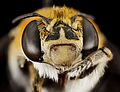 Bee, m, face, south africa, wcp 2014-08-07-08.21.01 ZS PMax (15524842927).jpg